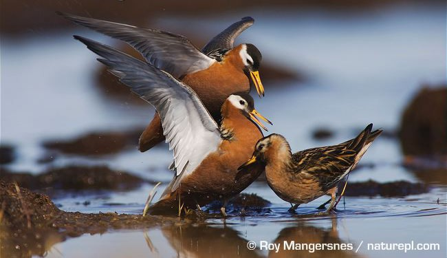 Grey phalarope females fighting for male