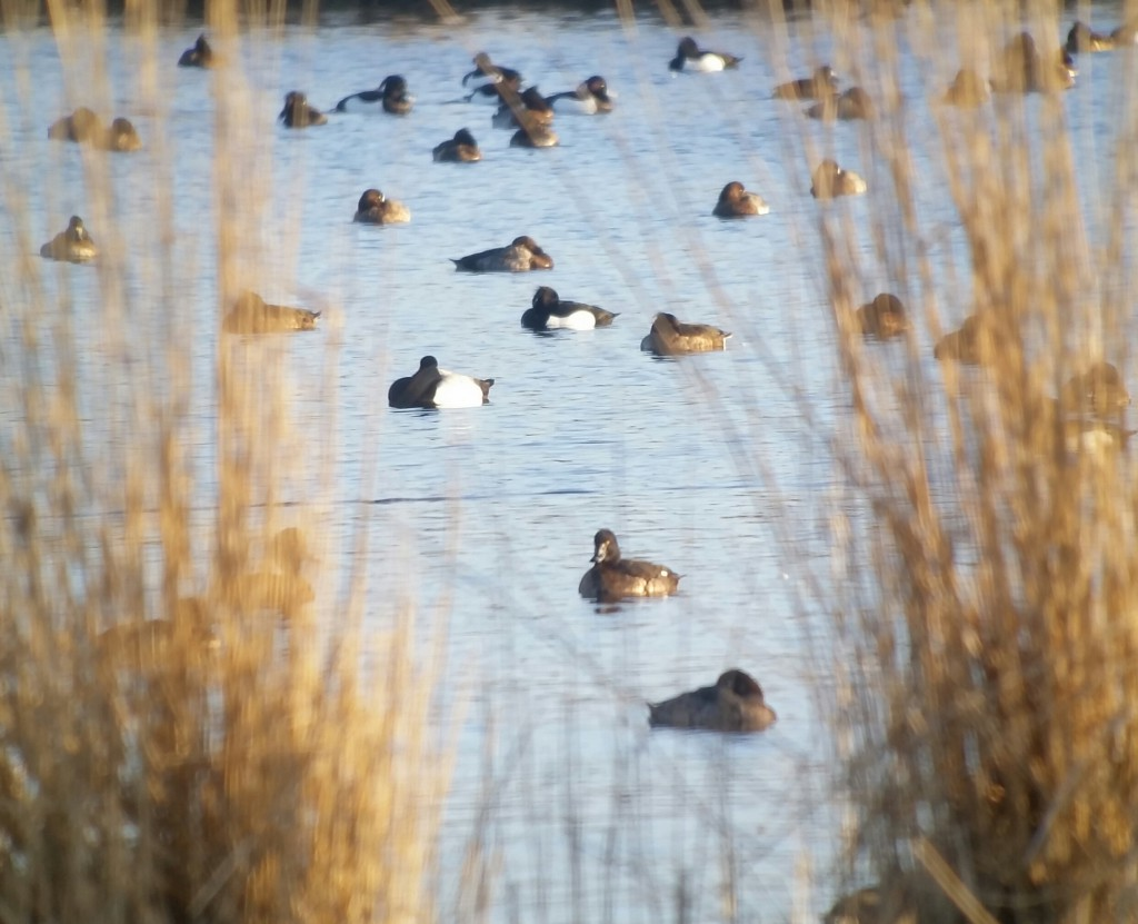 scaup 6